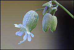 Sciopetti 2 (Silene Vulgaris) (ninin 50) Tags: sciopetti silenevulgaris fiori nature eremo ninin