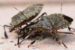 Group Feeding (Gomen S) Tags: bug insect animal wildlife macro 105mmmicro d7100 nikon sb500 diffuser flash mountain summer morning 2016 hk hongkong china asia tropical