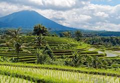Jatiluwih Rice Terrace in Bali (Nana* <salala817>) Tags: riceterrace jatiluwih bali mountain unescoworldheritage worldheritage tabanan         green batukarumountainrange    indonesia