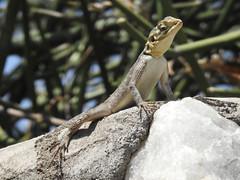 DSCN2307 (David Bygott) Tags: natgeoexpeditions ngexpeditions africa tanzania ngorongoroconservationarea nca olduvai agama lizard
