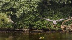 envol (Yasmine Hens) Tags: birds envol vol hron heron mouettes mouette hensyasmine hens yasmine flickr namur belgium wallonie europa leica dg 100400f4063 panasonic dmcgx8 leicadg100400f4063