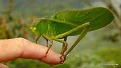 Steirodon careovirgulatum? (Ecuador Megadiverso) Tags: book flickr grasshopper katydid loscedros orthoptera phaneropteridae phaneropterinae steirodoncareovirgulatum steirodontini tettigoniidae andreaskay ecuador