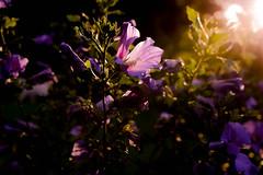 first sun rays in my garden (balu51) Tags: garten hibiskus blte violette erstesonnenstrahlen sonnenaufgang 60mm 100xthe2016edition 100x2016 image51100 august 2016 copyrightbybalu51