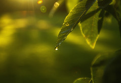 Hanging by a Moment (Matt Champlin) Tags: friday tgif life light sunrise morning mist calm calming nature landscape green lush summer endofsummer fall autumn dew droplets canon 2016