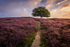 Purple Hill (Mario Visser) Tags: bloeien blooming boom heather heide mariovisser posbank tree veluwe
