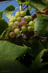 nog een maand te gaan (w.vandervet) Tags: yashica 50mm druiven grapes uvas