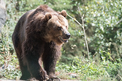 Grizzly (jeff's pixels) Tags: grizzly bear brown mammal animal portrait cute fur teddy nikon d750 tamron 150600 nature