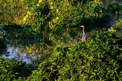 The Observer (NkPandey Fo2world) Tags: nkpandey birdsnk allahabadbirding junglebooknk canon canonindia walkwithnature2016 nkpandeyfo2world natgeo nature birds inthegoldenlight purpleheron