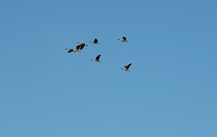 Canada Geese (Wild Bird Company) Tags: canadagoosegeese brantacanadensis canadagoosegeesecolorado canadagoosegeeseboulder wildbirdboulder wildbirdcolorado wildbirdcompany formerwildbirdcenter birdseed birdwalk goldenpondsparkandnaturearea cityoflongmontopenspace eileenrutherford