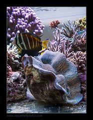STETderasa7212_160616 (kactusficus) Tags: marine aquarium reef tank home coral tridacna derasa clam benitier