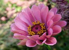 Nog even genieten van de bloemen van deze zomer/Just enjoy the flowers of this summer (truus1949) Tags: bloemen tuin zomer roze natuur