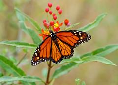 Monarch----- Danaus plexippus (creaturesnapper) Tags: tarifa lepidoptera butterflies spain europe insects monarch danausplexippus nymphalidae
