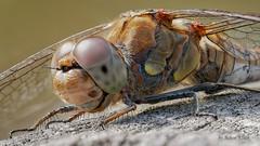 Weibchen der Groen Heidelibelle (Sympetrum striolatum) (AchimOWL) Tags: postfocus segellibelle libellulidae groslibelle anisoptera heidelibelle libelle makro macro natur nature gx80 tier insekt wildlife outdoor lumix panasonic olympus ngc female macrodreams