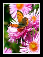 IMG_7185 1_GF (memett2011) Tags: papillon butterfly aster cuivre