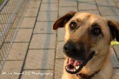 Lucy (falconoortphoto) Tags: dog lucy nikon nikond5200 shephard falconoort almere flevoland nederland