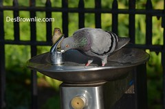 Birds at the Water fountain (DesBphotos) Tags: photosofbirds birds bird pigeon sparrow water waterfountain fountains fountain drink drinking city newyorkparks park parks refresh refreshing thirst thirsty