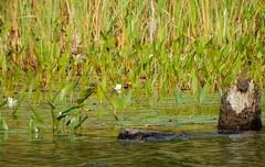lilly pond (Icanpaint1) Tags: plants maine aquaticplants pondplants lilypond wjtphotos