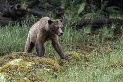 Female Coastal Grizzly Bear (Alan Vernon.) Tags: brown bear coastal ursus arctos horribilis mature female sow mother grass sedge sedges eat eating nature wildlife wild mammal american bears omnivore predator shore