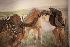 Yukon Horse (demeeschter) Tags: canada yukon territory whitehorse beringia interpretive centre museum heritage archaeology palaeonthology history attraction science
