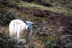 Mountain ewe (Wildlifelocker) Tags: sheep ewe mountain heather wildlife nature