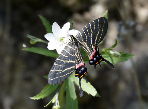 Chinese Three-tailed Swallowtail_16-06-05_Bhutanitis thaidina