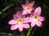 Morning Flower (makdumul_111) Tags: niceflower grass grassflowers pinkgrassflowers