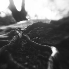 Nether Wood 91 - Roots (Adam Clutterbuck) Tags: somerset charterhouse mendips netherwood nether wood tree undergrowth landscape elements adamclutterbuck bw blackandwhite bn monochrome bandw bwsq sqbw blackwhite mono sq square showinrecentset uk unitedkingdom gb greatbritain britain england greengage lensbaby