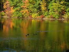 IMGP3531 Sylvan Lake Fall view 2016 (shutterbroke) Tags: shutterbroke pentax optio ws80 sylvan lake watertown ct ducks reflections leaves colors fall