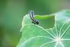 Chenille piéride du chou (Mariie76) Tags: animaux insecte lépidoptère papillon chenille piéride du chou pieris brassicae capucine feuille tropaeolum grignottage ravages trou nature verdure macrophotographie macro