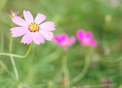Cosmos (Nana* <salala817>) Tags: cosmos flower flowers pink