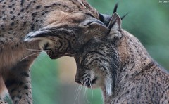 Love (supermandrin1) Tags: iberian lynx lince ibrico zoo aquarium madrid animals animales fotografa cats felines felinos linces nature naturaleza