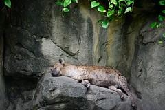 (ed555009) Tags:  hyena ks taipeicityzoo zoo wildlife d4 nikon telephoto longshot afsnikkor70200mmf28ged taipei taipeicity taiwan
