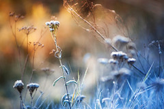 Fire and ice (xkolba) Tags: nature outdoor sunrise plant field podlasie jupiter37a135mmf35 bokeh canoneos5dmkii depthoffield m42 135mm jupiter white frost autumn meadow