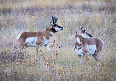 Time of the Season (ebhenders) Tags: pronghorn national bison range montana fall evening grass