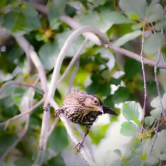 Camouflaged (vinnie saxon) Tags: bird wildlife nature park sparrow bokeh tree nikoniste nikon d600