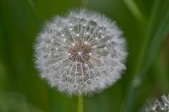 Dandelion (Angelina Ra) Tags: dandelion nikon green plant flower macro