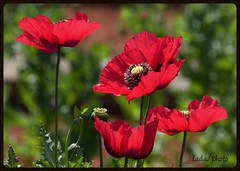 IMG_6664_six months ago... (lada/photo) Tags: spring flowers poppy ladaphoto red
