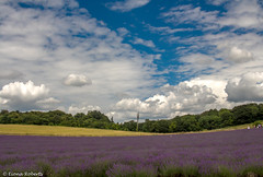 Big skies and lavender fields (Eiona R. [playing catchup]) Tags: lordingtonlavender lavender westsussex