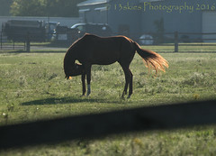 My GF says: My back shoes are not tied (13skies) Tags: horse funny ironic mygf mygfsays field sunlight sunshine morning lovely fence green stable farm looking humour humor animal pose riding