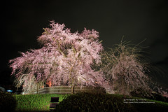 () Tags: canon 1dx ef1635mmf28l night nightimage sakura cherryblossom japan kyoto     flower   spring