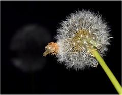 Caught (avanu67) Tags: dandelions dandelion paardebloem reflection macrophotography nature natuur macrofotografie