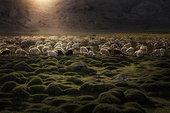 Wealth of Goats (SharonWellings) Tags: india sunset goats stock ladakh himalayas northern light wealth sharonwellings landscape photo