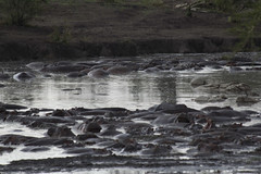 _MG_0600 (esevelez) Tags: tanzania africa serengueti serengeti animales animal animals parque nacional national park nature naturaleza hipopotamo hippopotamus charca pool pond