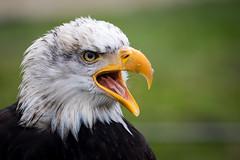 Weißkopfseeadler (DeanB Photography) Tags: adler weiskopfseeadler vogel tier tiere bird adlerwarte berlebeck natur greifvogel