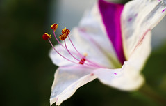 """""""your love is rain, my heart the flower.."""" (Hanna Tor) Tags: macro hannator song franksinatra rain heart"""