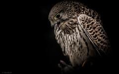 L'aile ou la cuisse.... (Pilouchy) Tags: animal oiseau bird wind eyes regard lumiere light color france bec chasse rapace plume free vent wild life vie bellissima aile birds faucon