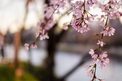 Sakura (fouederni) Tags: sakura japan kyoto hanami