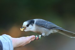 The Hand that Feeds (praja38) Tags: jay grayjay greyjay nature wildlife wild life caps capricorn humour algonquin park provincial northern ontario feeding palm hand feeds peanuts seeds nuts cap beak feathers feather wings feet wing banded band