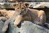 African lion cub - Olmense Zoo (Mandenno photography) Tags: dierenpark dierentuin dieren animal animals belgie belgium bigcat big cat olmense olmensezoo olmen cub lion lions leeuw leeuwen lioncub leeuwtje ngc