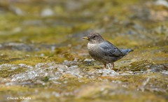 The subtle colors of a dipper (Photosuze) Tags: birds avians aves animals dippers americandippers water nature wildlife rivers